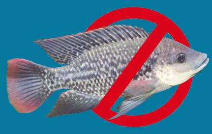 صدور مجوز پرورش ماهی تیلاپیا متوقف شد!